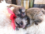 Good Marmoset For Good Homes